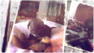 Adorable Miniature Dachshund Puppies For Sale