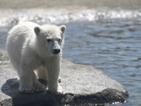 Raw: Ohio Zoo Shows Off Adorable Polar Bear Cub