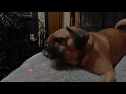 Pugalier chewing carrot