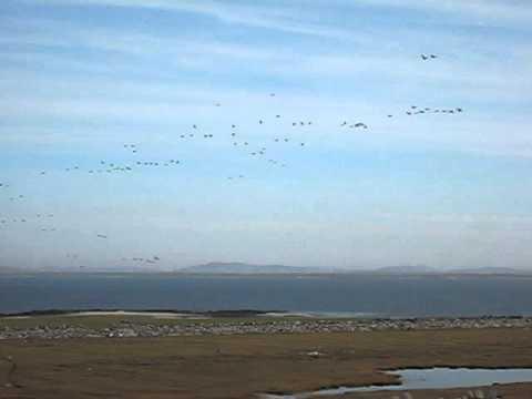 MVI 4417 Inishkea North Barnacle Geese