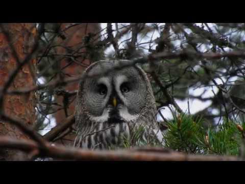 Lappugle Elverum Hedmark Finnskogen Great grey owl Strix nebulosa Bartkauz Nikon coolpix p900 Norway