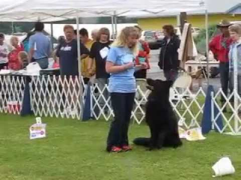 German Shepherd Dog Scores A Perfect 100 In Rally Advance Obedience