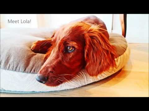 Irish Setters are AWESOME!!!! Gorgeous Puppy in Training For Sale - Lola