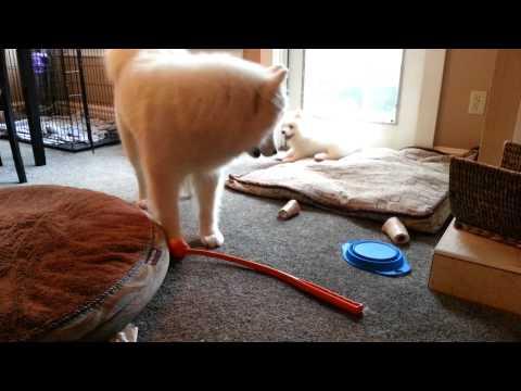 Samoyed puppy wrestling