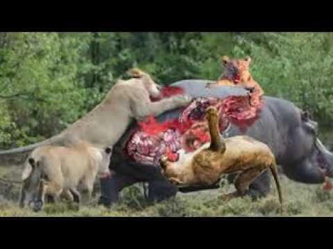 Download Top 10 Craziest Animal Fights Caught On Camera - Lion vs Buffalo, Crocodile, leopard, elephant