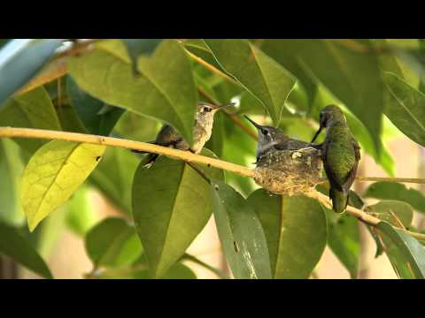 Hummingbird Baby leaves nest and flies for the first time !