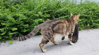 Anne kedi iki yavrusunu güvenli yere taşıyor