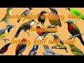 mp3 suara kutilang ribut kombinasi burung kecil pikat semua jenis burung terbukti ampuh durasi 1 jam