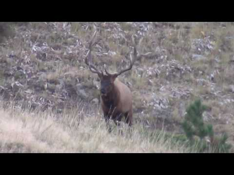 Big Horns Wyoming Elk