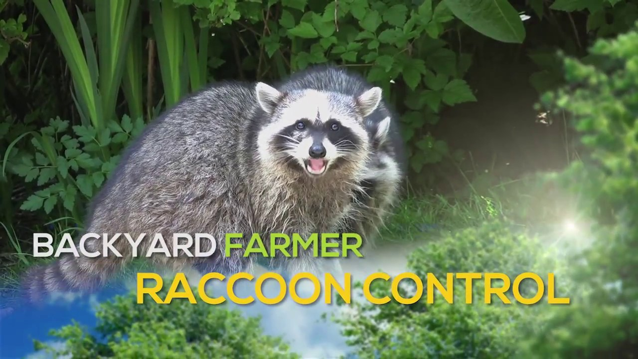 Raccoon Control Youtube