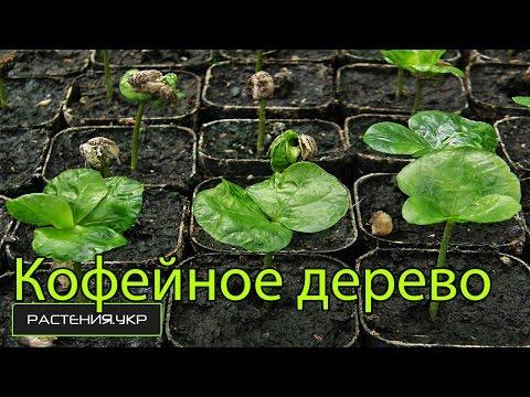 Как вырастить дерево кофе из семян в домашних условиях? / Кофе арабика комнатное растение