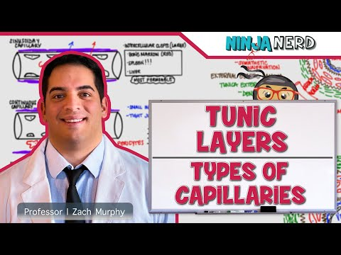 Cardiovascular | Tunic Layers & Types of Capillaries