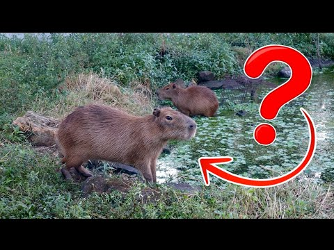 capybaras-on-the-ranch!-how-are-they-doing??