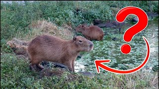 capybaras-on-the-ranch-how-are-they-doing