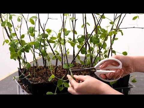 Sweet pea plant training
