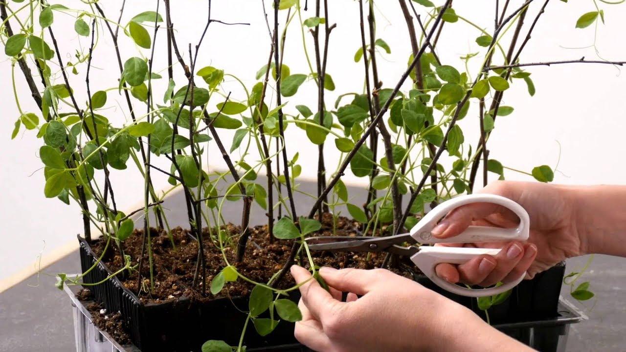 Sweet Pea Plant Training Youtube