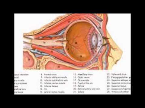 Diagram Of The Eyes