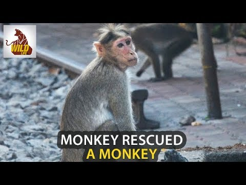 Animals Videos | Monkey Rescued A Monkey From Railway Track | Animal Heroes | Wildlife