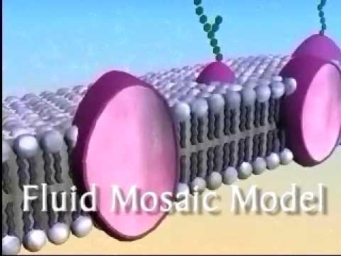The Plasma Membrane