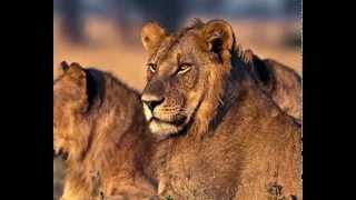 León, Panthera leo