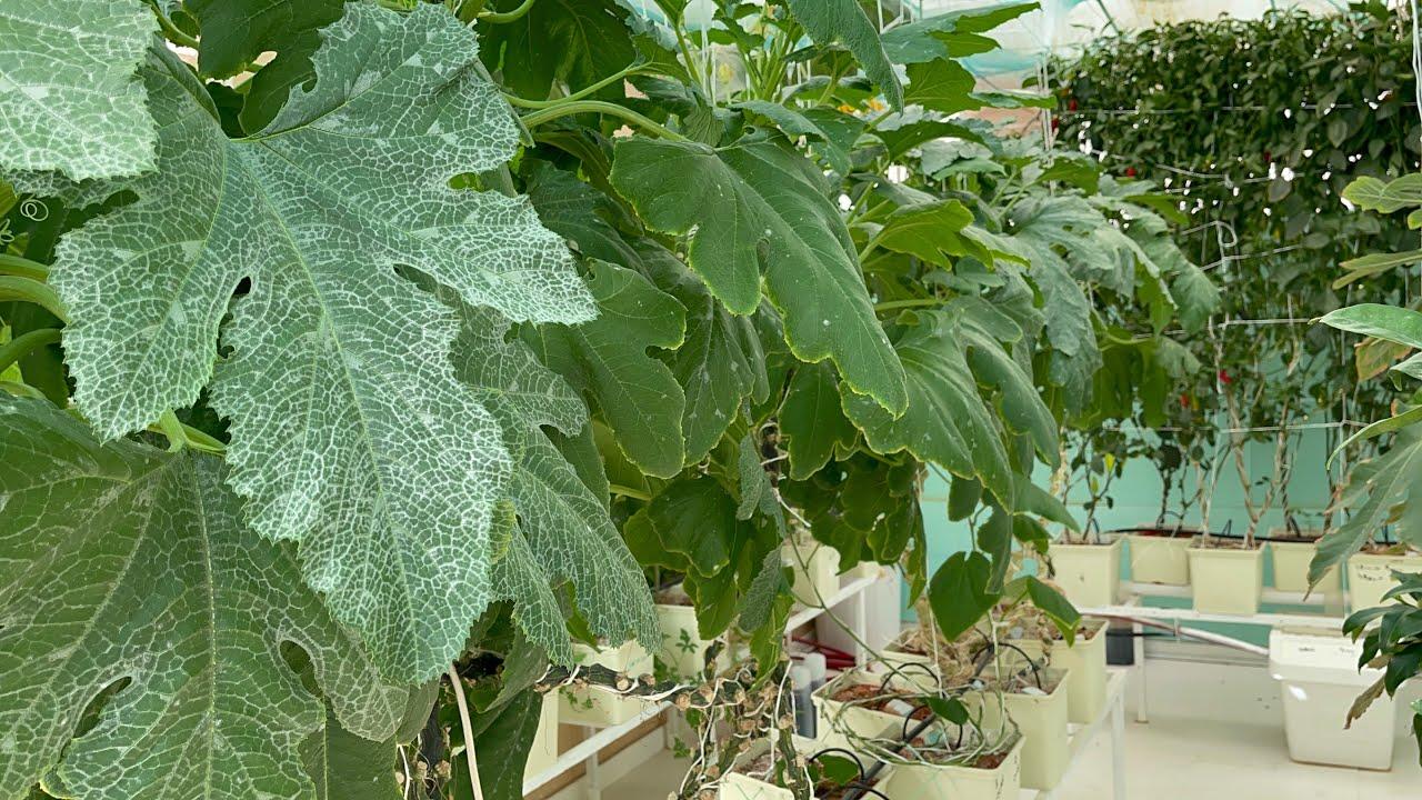 انتاج الفاكهة و الخضار بالزراعة المائية.