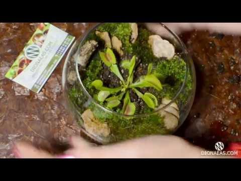 Подробная посадка венерина мухоловка - Флорариум - Charlie flytrap, Dionaea - DIONAEAS.COM субтитры