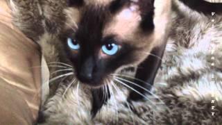 Кошачьи движения, которые означают в пребывании в прекрасном настроении | Siamese cats