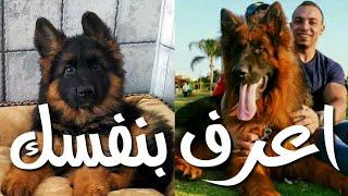 طريقة لمعرفة كيف سيكون شكل جرو الجيرمن شيبرد عندما يكبر ومستوى كلاب الجيرمن شيبرد