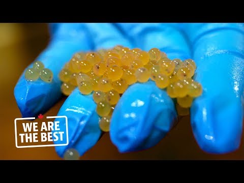 Arctic char eggs from Whitehorse, a guarantee of quality for fish farmers | We Are the Best