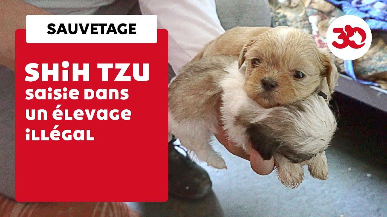 Un élevage illégal de Shih Tzu