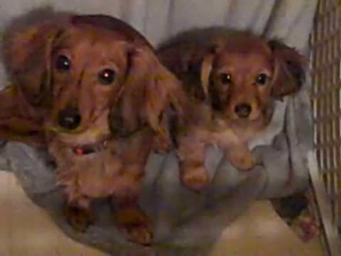 Female Dorkie Dachshundyorkie Puppy For Sale In Pa Youtube