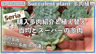 224{多肉植物}百均購入多肉紹介と植え替え💝seriaとスーパーの多肉土の違い Succulent