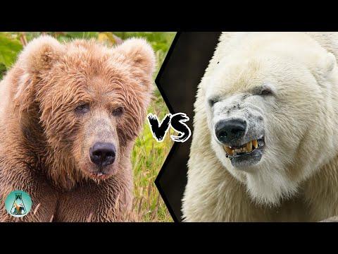 KODIAK BEAR VS POLAR BEAR - Who Would Win This Fight?