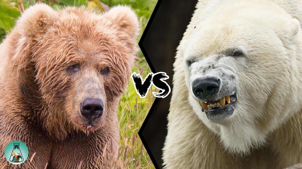 Kodiak Bear Vs Polar Bear Who Would Win This Fight Youtube