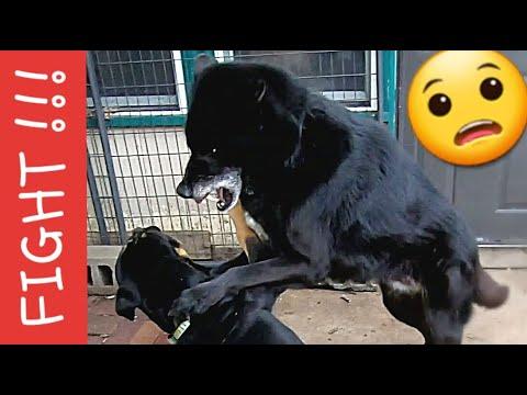How I Handle Dog Fights Over RAW Food - Pack Feeding Video (K9 Mukbang/Pack-Bang)