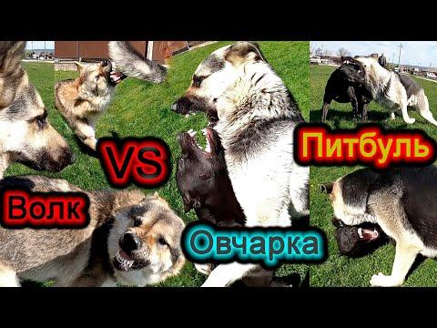 Видео: Чем обернулась знакомство Овчарки с Волком и Питбулем. Драка/оскал волка/нападение