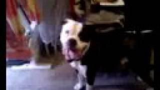 Neopolitan Mastiff Dogue De Bordeaux American Bulldog