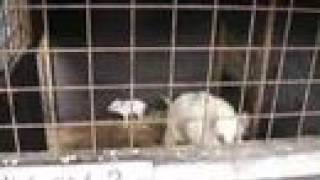 白い猪の夫婦に可愛い五つ子が生まれたらしい。他の4匹のうり坊は里帰...