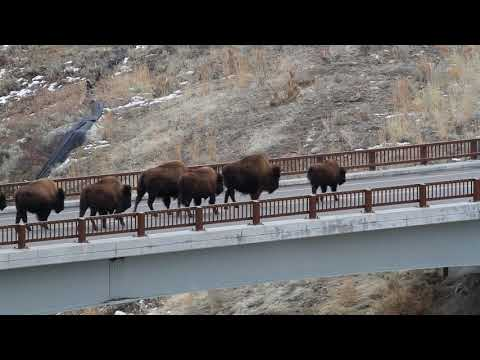 Bison on Lamar River Bridge, Yellowstone Park