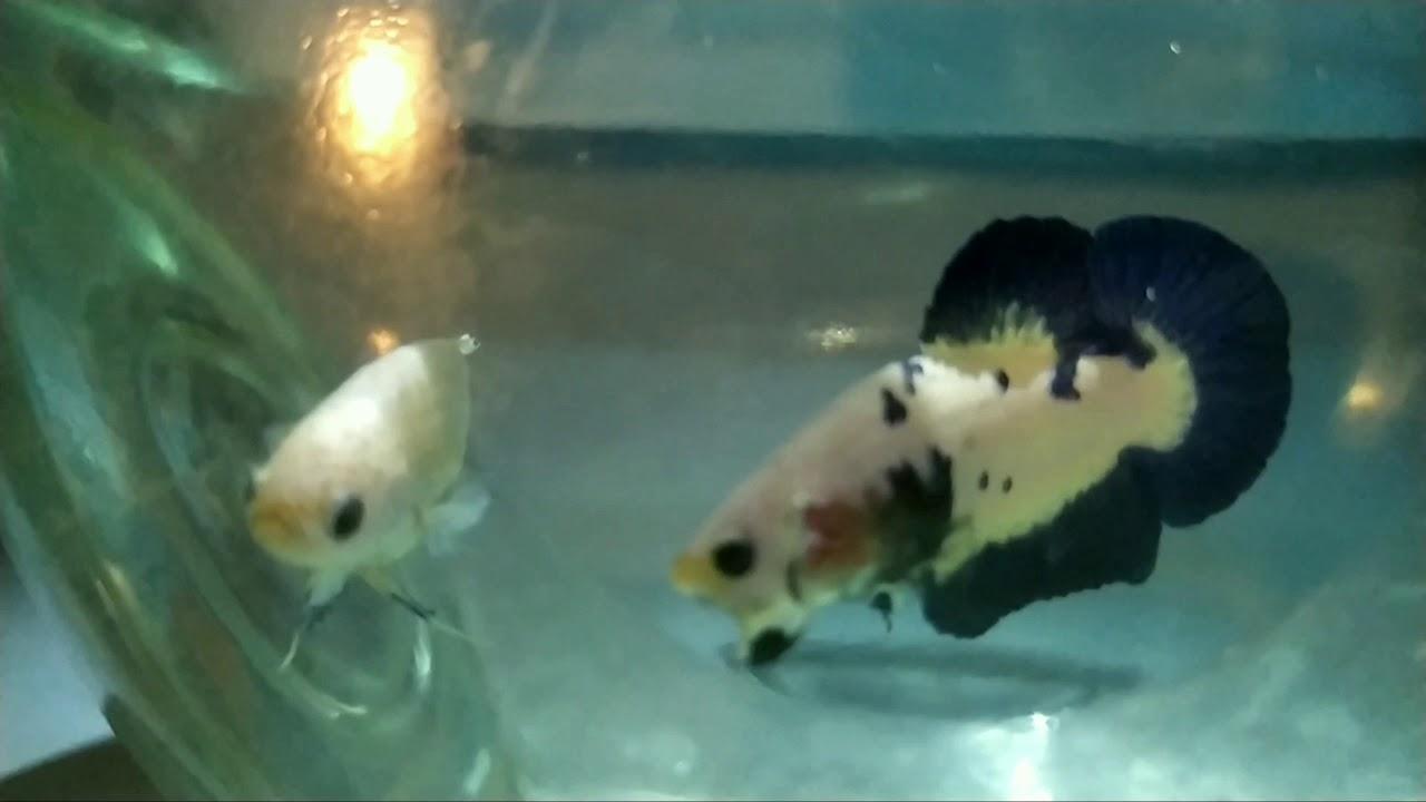 Ikan Cupang Bahan Blue Rim - YouTube