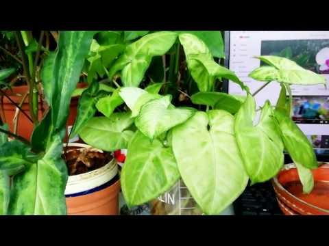 Cингониум - растение для спальни