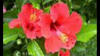 Cultivation practices of Hibiscus-shoe flower