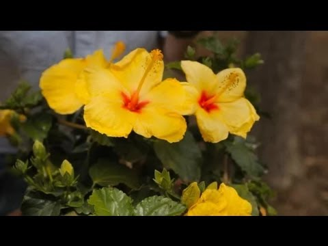 Winter Care Of The Hibiscus Rosa Sinensis Garden Savvy Youtube