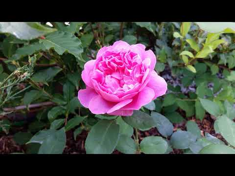 """Розы- """"Остинки"""": Личфилд Энджел, Крокус Роуз.  Буддлея в Подмосковье."""