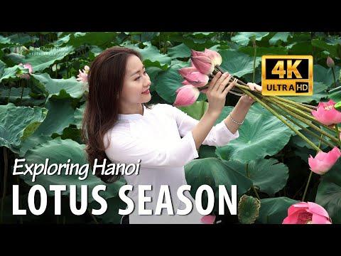 The Lotus Season In Hanoi