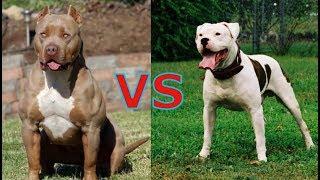 Самая опасная и сильная собака в мире питбуль или амбульдог