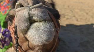 Wielbłądy-  ŻRÓDŁO,  desert blues