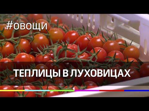 Теплицы в Луховицах: как вырастут томаты после ПМЭФ
