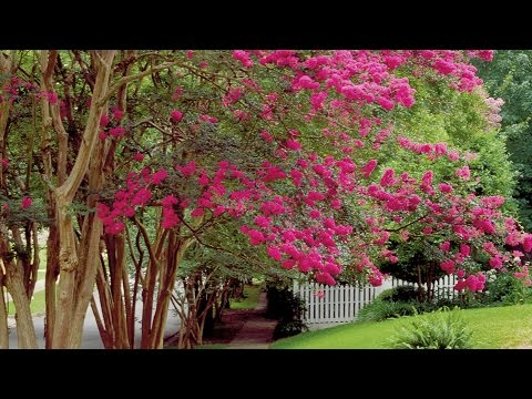How To Prune Crepe Myrtles | Southern Living