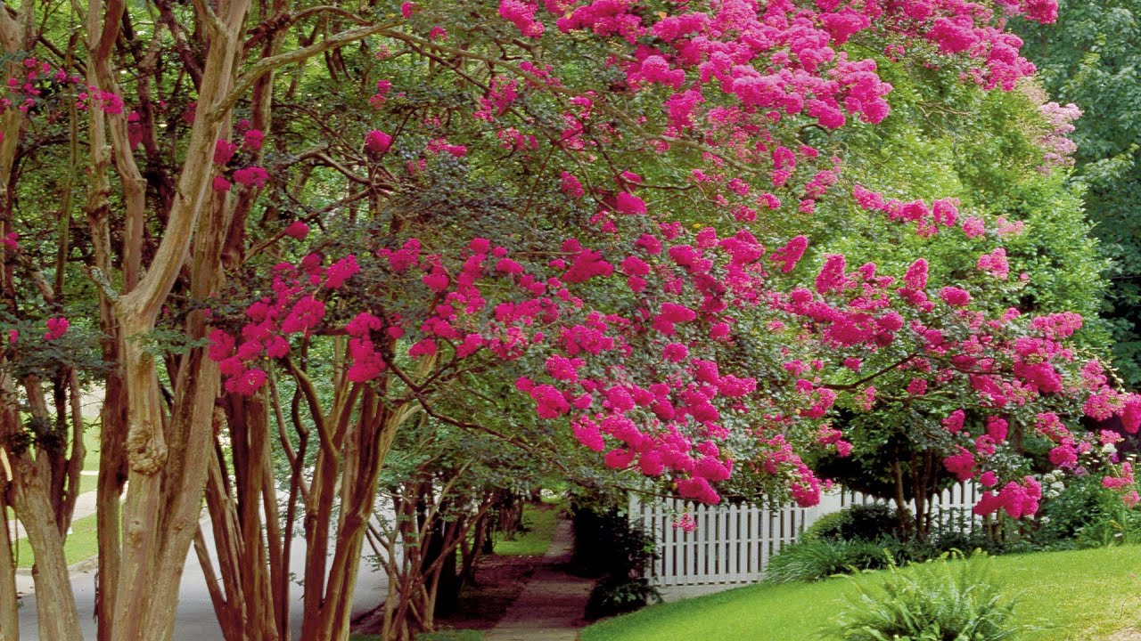 How To Prune Crepe Myrtles | Southern Living - YouTube